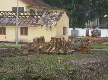 old trees uprooted ipoh