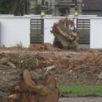 Unnecessary killing of 50+ year old trees in Ipoh