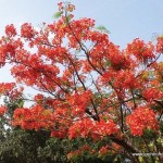 Flame of the Forest (Delonix regia)